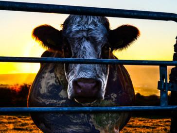 Eine Kuh, die Wurzel allen Übels?