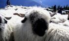 Schneeweisse Schwarznasen