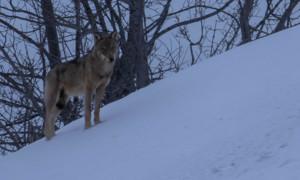 Bilder: Marche avec les loups